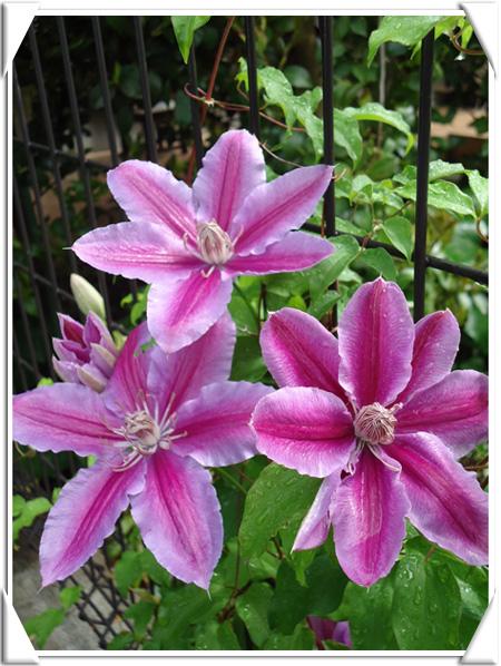 Clematis-florida.jpg
