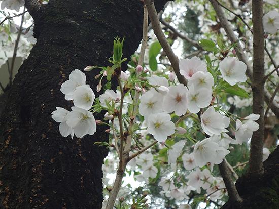 成城学園の桜